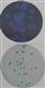 HiDtect大肠杆菌显色和荧光双重鉴定纸