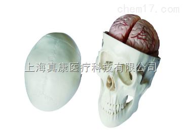 头骨带8部分脑动脉模型