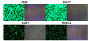 Transfection reagent