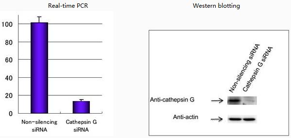 ♦ u937细胞经sirna转染72小时后收集,用rt-pcr和wb分别检测mrna