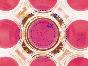 OLYMPUS奥林巴斯倒置生物显微镜CKX53物镜下图片