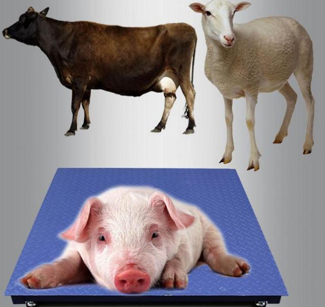 生猪重量称