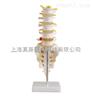 自然大腰椎带尾椎骨模型